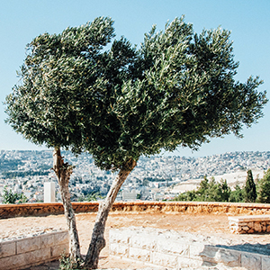 Tree over Israel